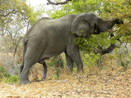 фото стоячего хуя слона