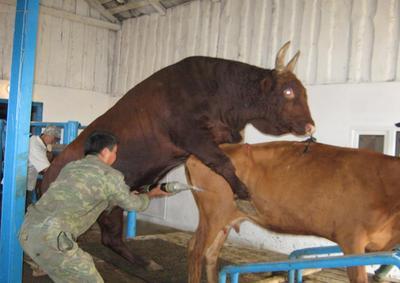 Коровы и быки трахаются