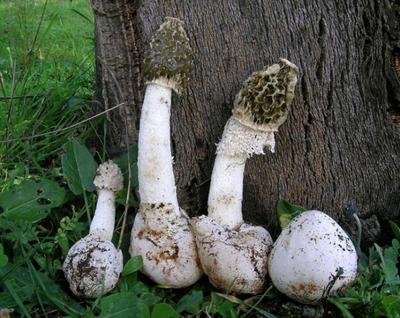Залупа похожа на гриб фото фото 741-226
