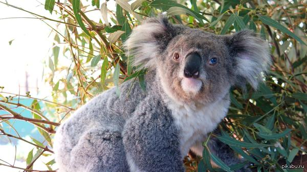 Ну вот вам коала тогда :/ Этого коалу зовут Blue Jeans
