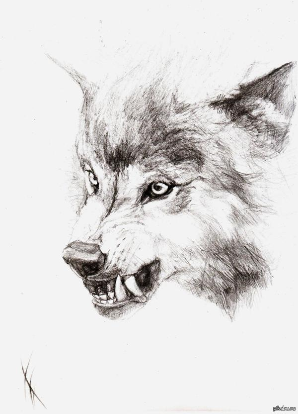 картинки волков рисунки карандашом