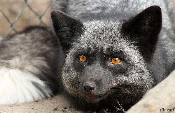 лисичка черная фото