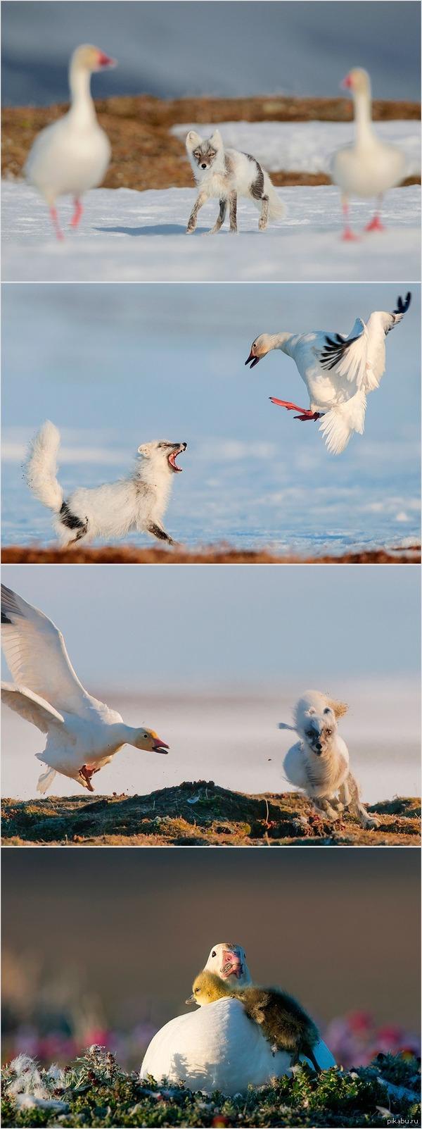 Песец хотел проверить гусиные гнезда... и с позором бежал =) автор фото С.Горшков, о.Врангеля