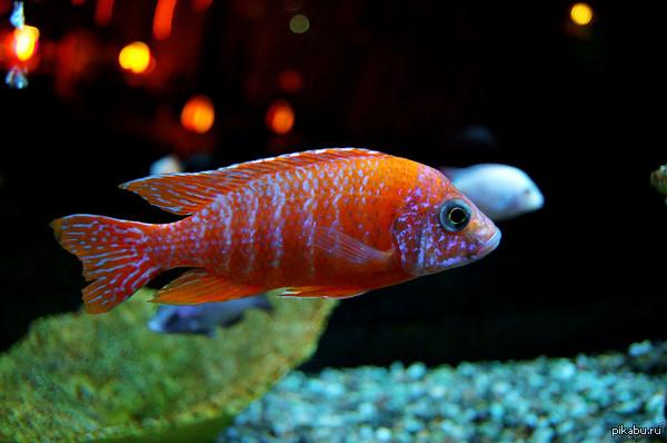 Рыбка в аквариуме Выкладываю очередную сделанную мной фото