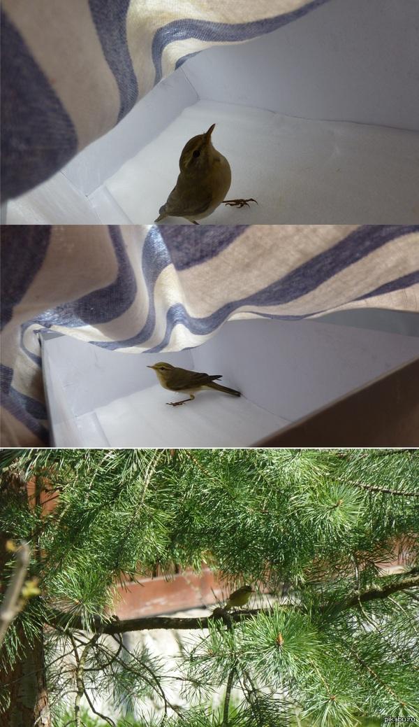 """сидел во дворе,слышу """"чпоньк"""" от окна. птичка об окно ударилась. подошёл-птичка лежит и не двигается,хоть дышит. ну я её в коробку и полотенцем накрыл и домой занёс. через минут 40-уже очухалась выбираться собралась*)"""