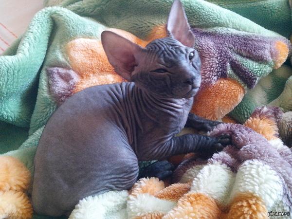 Osiris завели с девушкой котенка. очень милый зверь, несмотря на внешний вид) зовут Осирис, или просто Ося)