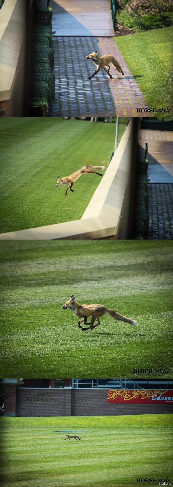 Держите лисичку. А то всё еноты да коты они в последнее время. После проведения соревнований по конному спорту на плац выбежал вот такой вот зверёк :3