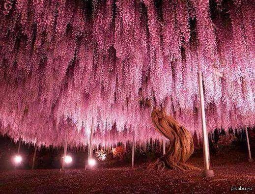 150 летнее дерево глицинии..