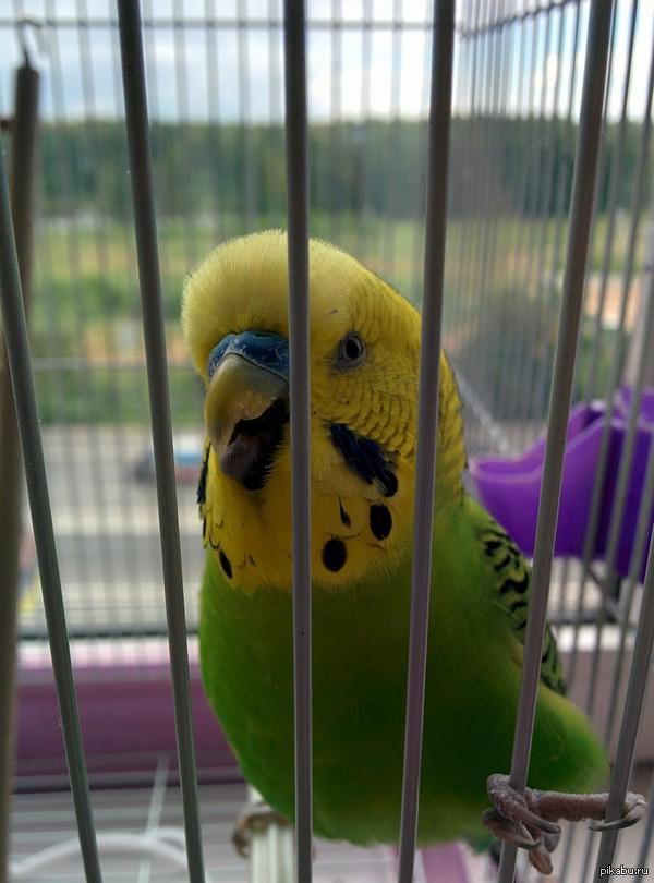 Знакомьтесь - это Кеша. Мой попугай) Очень любит танцевать.