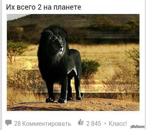 львы чёрные фото