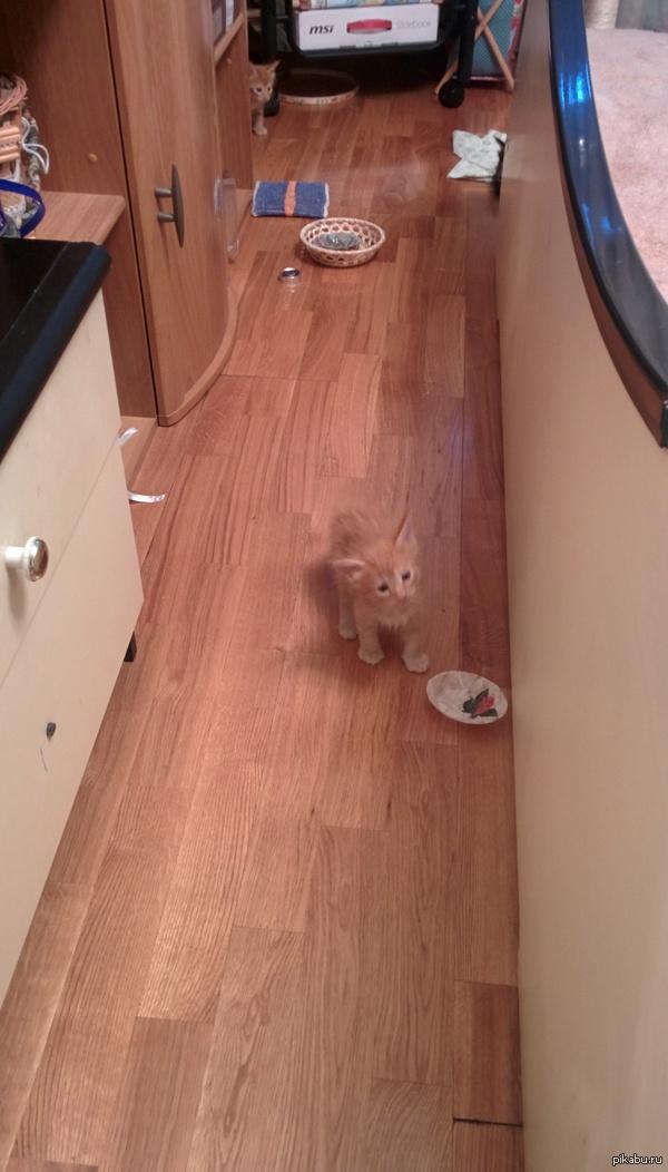 мейн-кун Кошечка принесла 6 котят 3 мальчика рыженькие и 3 девочки темные.  все семейство запечатлеть не удалось уж больно шустрые)))