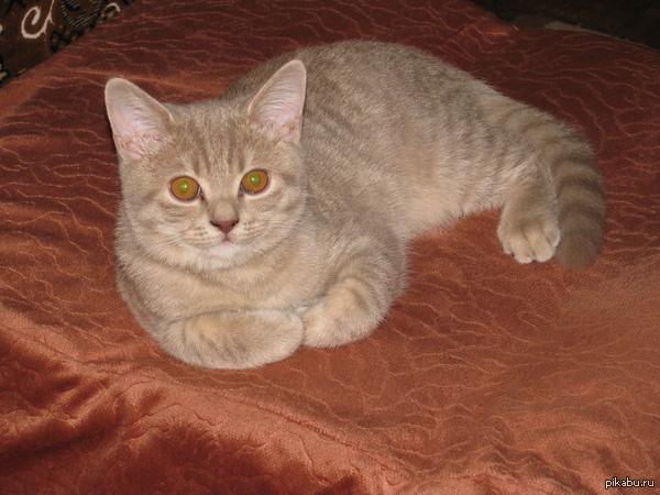 Честер (Котопост) Среди моих подписчиков есть люди которые просили периодически выкладывать фото котейки, чтоб посмотреть как он растёт. 4 месяца, 2.500 кг^^ (в комментах ещё)