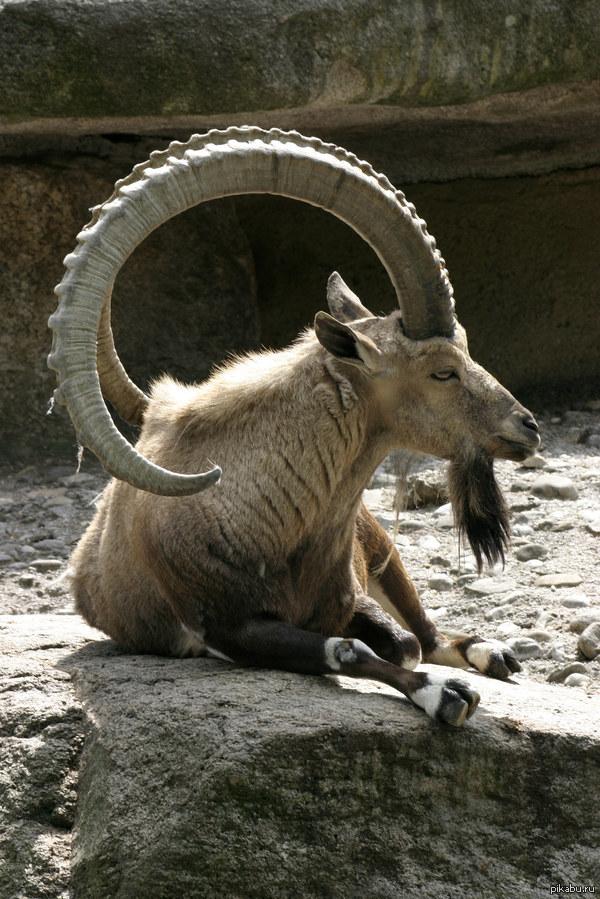 Шикарные рога это ибекс(он же альпийский/горный козёл, козерог)