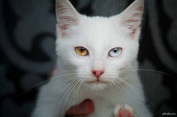 Гетерохромия. Позавчера нашли семь котят, вчера хотели их забрать, а их уже и след простыл( пока искали котят, нашли вот эту кошечку. Как по мне, так она шикарна.