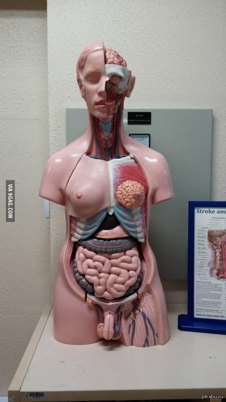 кажется что-то не так с этой анатомической моделью