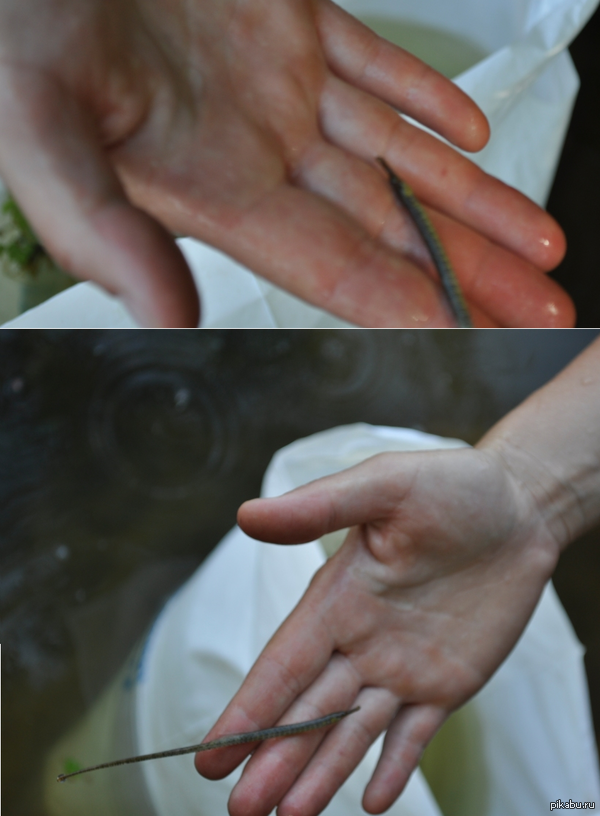 Вот такое чудо было выловлено летом в реке, случайно что-то похожее на рыбу-иглу, а есть такие в реках?  Кто-то знает как оно зовется?