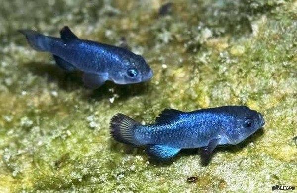 ДЬЯВОЛЬСКИЕ КАРПОЗУБИКИ Дьявольские карпозубики (лат. Cyprinodon diabolis) занесены в книгу рекордов Гиннеса как most endangered fish – рыбы, находящиеся в наибольшей опасности.