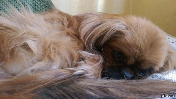 Извините что спрашиваю такое. Спросить совета не у кого. Мой пес умирает. Как решится на усыпление??((