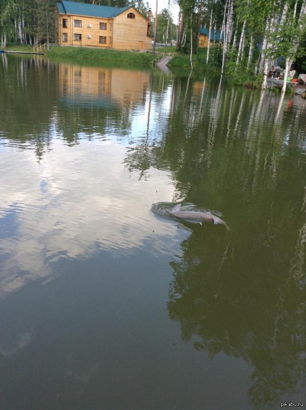 Царская рыба, Осетр Этот красавец ушел. Примерный вет 5~6 кг., примерная длина 70~120 см.