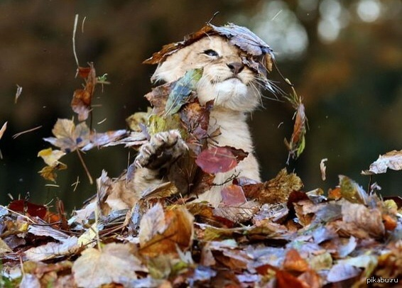 Лев молокосос играется в листьях