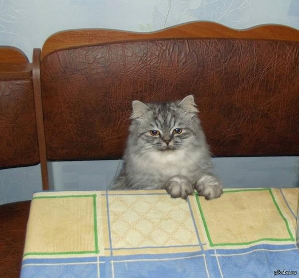 Скромный кот на пикабу Каждый раз, когда с семьей садимся ужинать, приходит этот пройдоха и таким способом просит дать ему еды со стола.