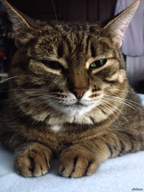 Хитрюга А вот моя кошка-хитрюга