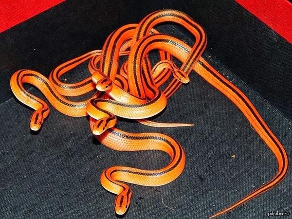 Змейка Китайский бамбуковый полоз (Aspidus Veteranus)