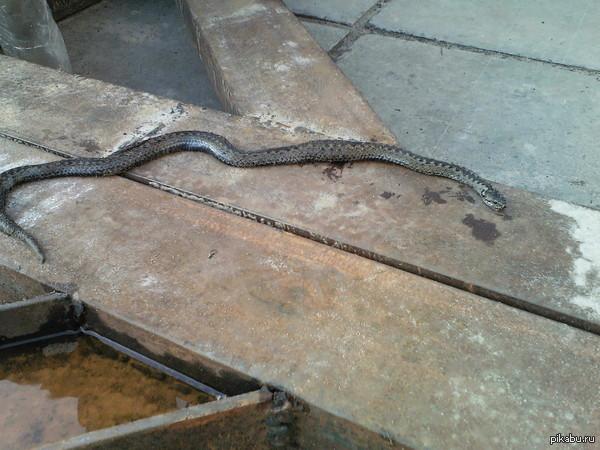 В Ноябрьске нашли змею. С отцом в лес ходили, он нашёл змею на дороге. Живём в Ноябрьске.