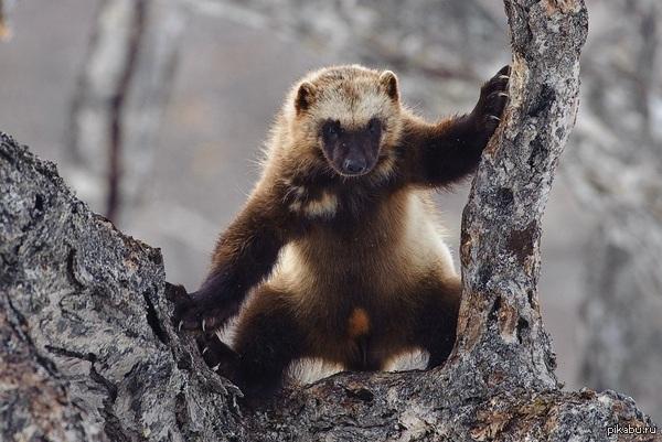 Росомаха — самый свирепый хищник на земле, не имеющий себе равных. Росомаха не знает страха и может напасть на животных, которые гораздо крупнее и сильнее ее. Известны случаи, когда росомаха отгоняла медведей и пум от их добычи
