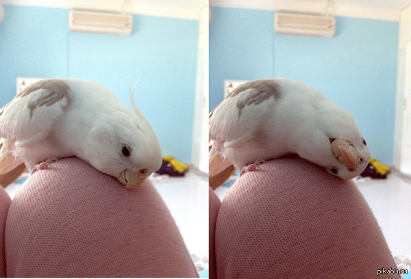 Просто милый попугайчик
