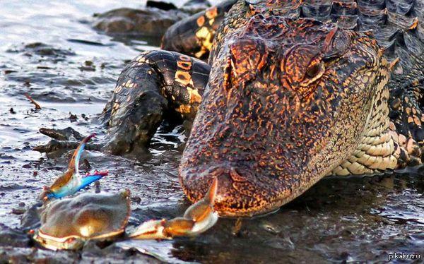 Краб хвастается размером своего достоинства. Крокодилу обидно!