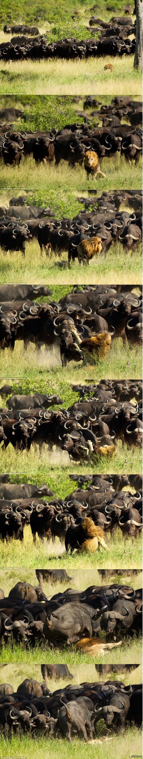 Стадо против царя зверей
