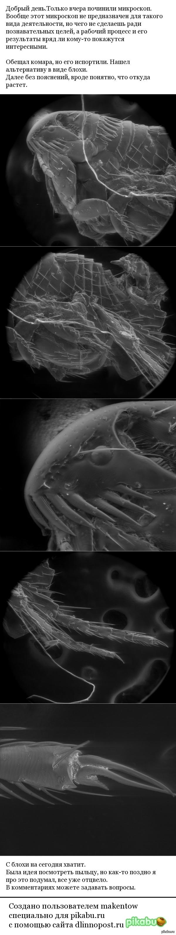 Блоха под микроскопом.