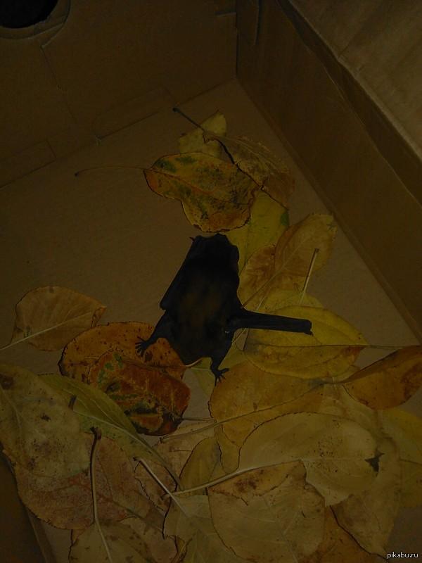 Помогите спасти летучую мышь Прошу помощи в советах. Как спасти раненое животное? перебита правая передняя лапка. Есть ли шанс найти спасение у ветеринара? чем кормить животное?