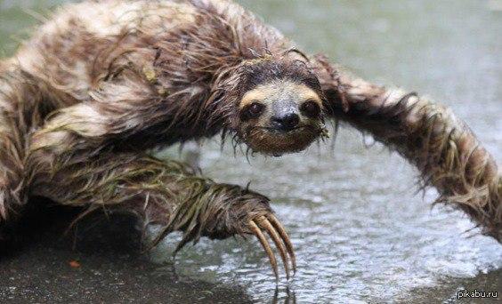 фото как выглядит ленивец