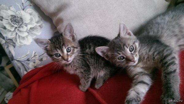 Крошки-котаны просят помощи! 2 активных полуторамесячных мини котана просят приютить их на дальнейшую жизнь в комфорте и неге. Половой вопрос на любой вкус - мальчик и девочка. Help needed.