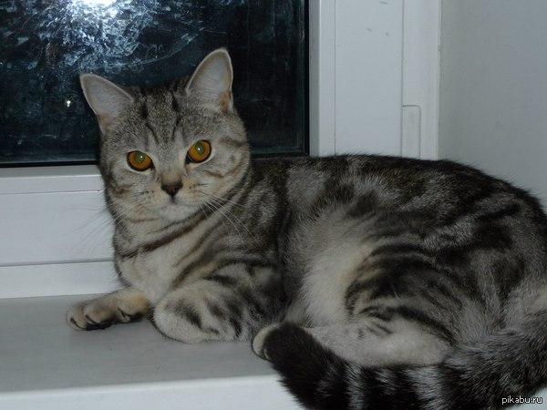 Возлюбленный котик, отзовись! Красивая, умная, воспитанная кошечка, ищет СРОЧНО брутального мужчину породы скоттиш-фолд  для продолжения рода. По любви, а не расчету. г. Москва.