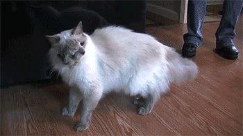 Двуликий кот Видео в комментах