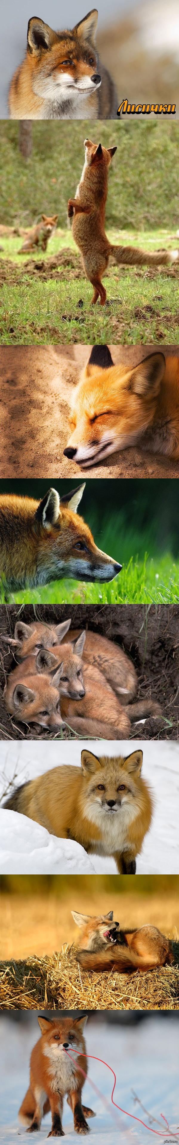Рыжие красавицы ^__^ Подборка с красивыми лисичками
