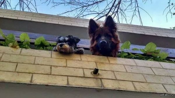 Люблю собакенов кого-то так провожают на работу. завидую.