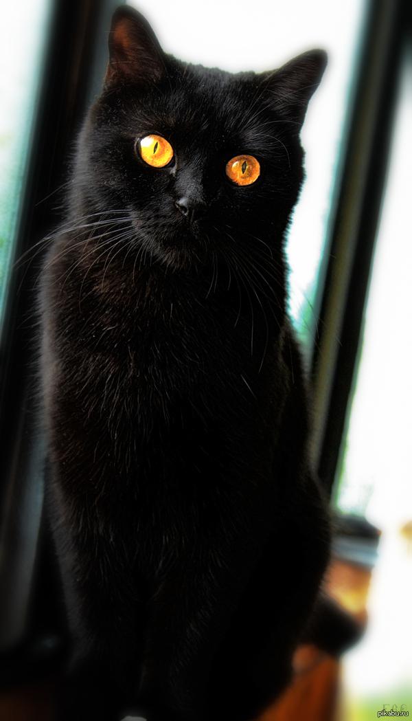 Порода говорят британских кровей животинка, что скажете?