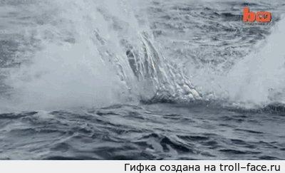 Летучий убийца. Во второй раз получилось. Акулу дразнили муляжом. Ни одного тюленя тогда не пострадало.