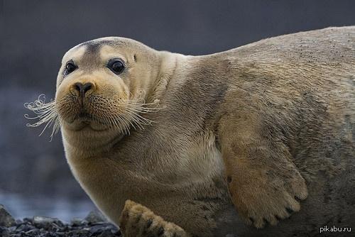 Минутка милоты Фотогеничные морские зайцы. В комментах еще фото)