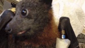 Летучая мышь кушает виноград