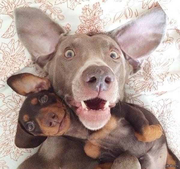 Помогите найти мультфильм Из серии весёлые мелодии.пёс оперный певец не даёт работу на сцене псу фокуснику.тот мстит-насылает на сцену зайцев .и вместо оперы поют гавайские песни и блюзы
