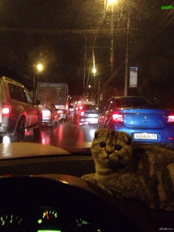 кот в маишине друг едет домой с котом