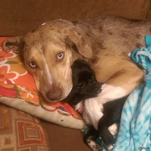 Cat laying on dogs back