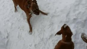 Старый пес троллит щенка)) выглядит мило)(видос в комментах)