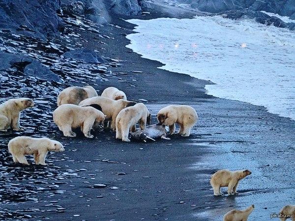 Взаимовыручка в дикой природе! Белые медведи спасают утонувшего моржа, делая ему искусственное дыхание