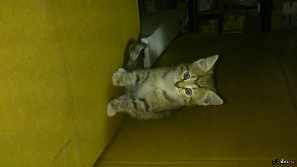 Котёнок в добрые руки, СПБ Пикабушники Питера!!!  заберите котёнка в добрые руки,  жалко пропадёт, живёт на складе,  девочка 1,5 месяца, сама ест,  игривая, мама ласковая общительная и ум